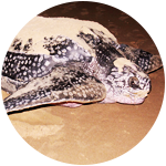 Turtle Nesting Safaris